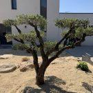 Réalisation de taille d'olivier et entretien de jardin à Saint Gilles Croix de Vie